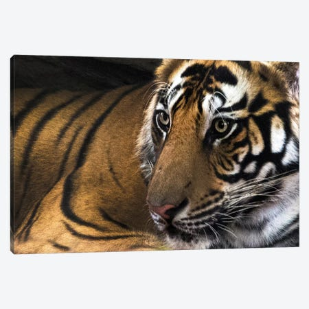 Bengal Tiger II, Kanha National Park, Madhya Pradesh, India Canvas Print #PIM13564} by Panoramic Images Canvas Wall Art