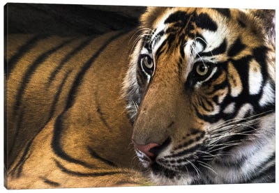 Bengal Tiger II, Kanha National Park, Madhya Pradesh, India Canvas Art Print