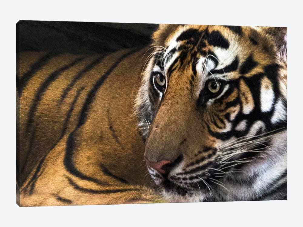 Bengal Tiger II, Kanha National Park, Madhya Pradesh, India by Panoramic Images 1-piece Canvas Artwork