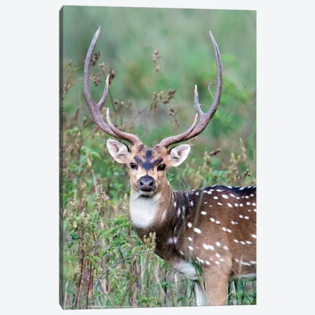 Spotted Deer, Kanha National Park, Madhya Pradesh, India Canvas Print #PIM13576} by Panoramic Images Canvas Art Print
