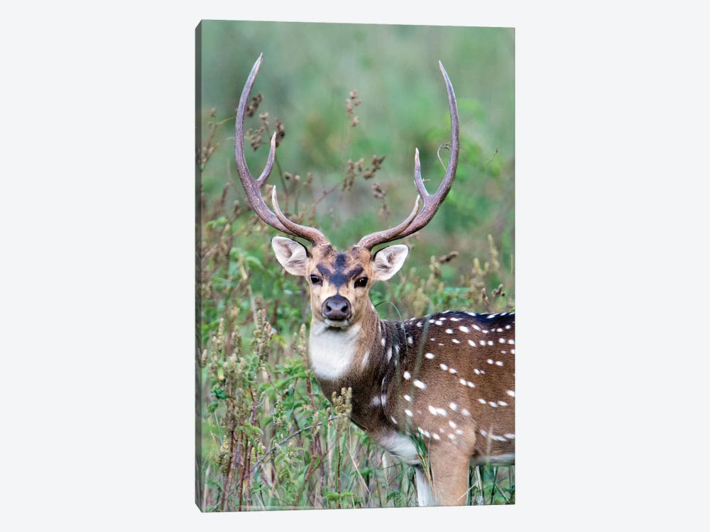 Spotted Deer, Kanha National Park, Madhya Pradesh, India by Panoramic Images 1-piece Canvas Print