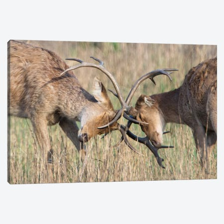Swamp Deer II, Kanha National Park, Madhya Pradesh, India Canvas Print #PIM13579} by Panoramic Images Canvas Art