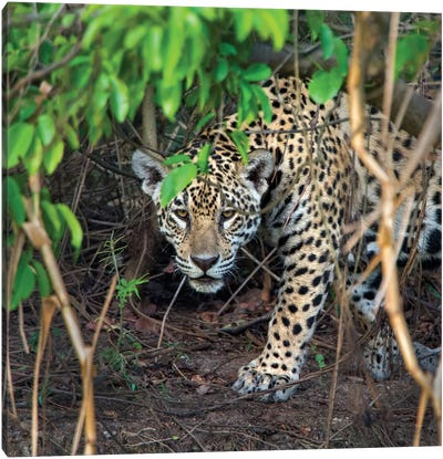 Jaguar II, Pantanal Conservation Area, Brazil Canvas Art Print
