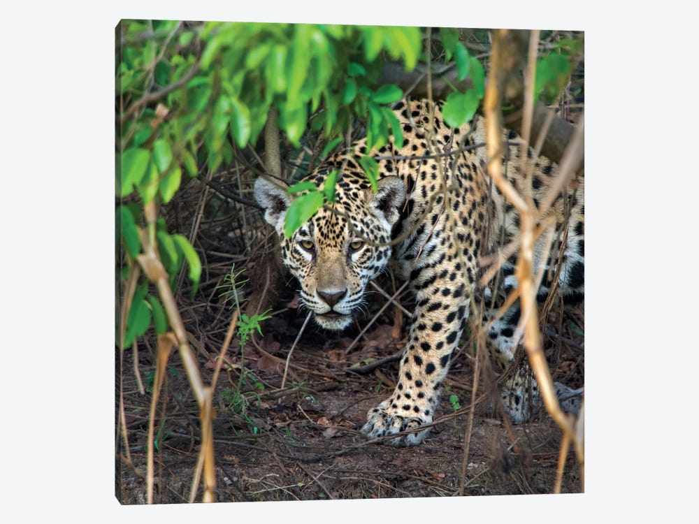 Jaguar II, Pantanal Conservation Area, Brazil by Panoramic Images 1-piece Canvas Art