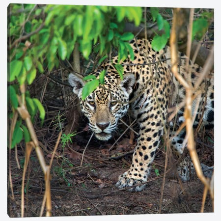Jaguar II, Pantanal Conservation Area, Brazil Canvas Print #PIM13584} by Panoramic Images Canvas Artwork