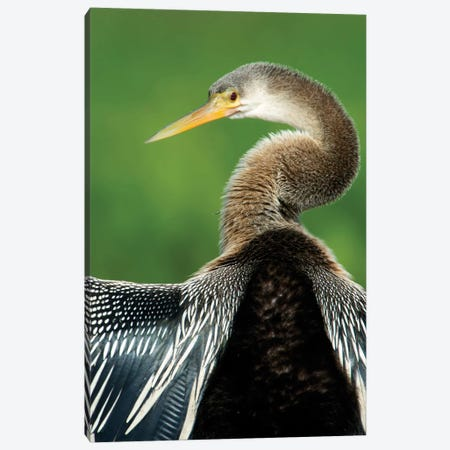 Anhinga I, Pantanal Conservation Area, Brazil Canvas Print #PIM13586} by Panoramic Images Canvas Wall Art