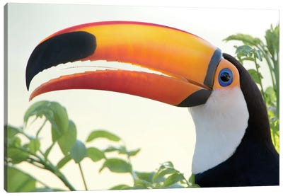Toco Toucan I, Pantanal Conservation Area, Brazil Canvas Art Print