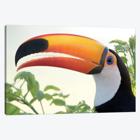 Toco Toucan I, Pantanal Conservation Area, Brazil Canvas Print #PIM13607} by Panoramic Images Canvas Print