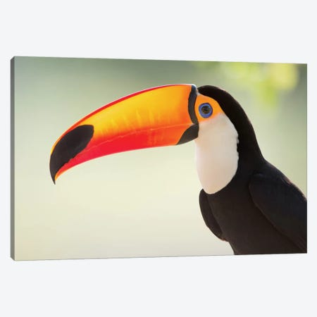 Toco Toucan II, Pantanal Conservation Area, Brazil Canvas Print #PIM13615} by Panoramic Images Canvas Artwork