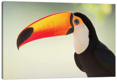 Toco Toucan II, Pantanal Conservation Area, Brazil Canvas Art Print