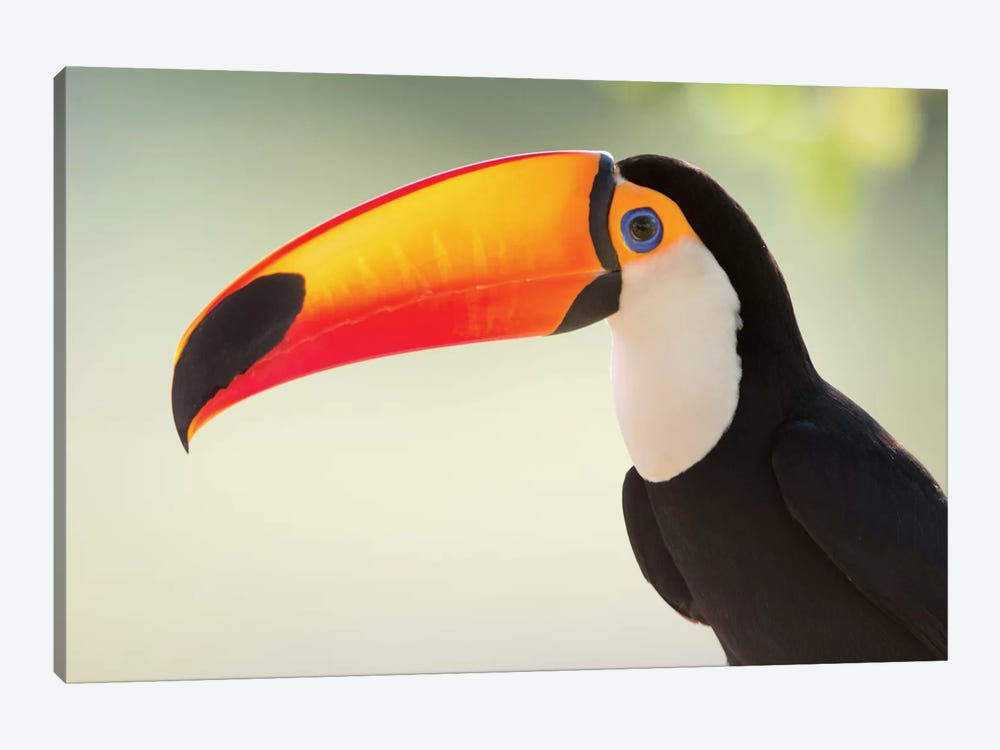 Toco Toucan II, Pantanal Conservation Area, Brazil by Panoramic Images 1-piece Canvas Art