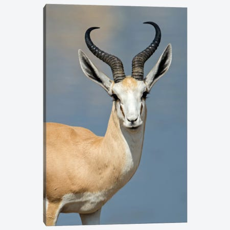 Springbok I, Etosha National Park, Namibia Canvas Print #PIM13655} by Panoramic Images Canvas Art
