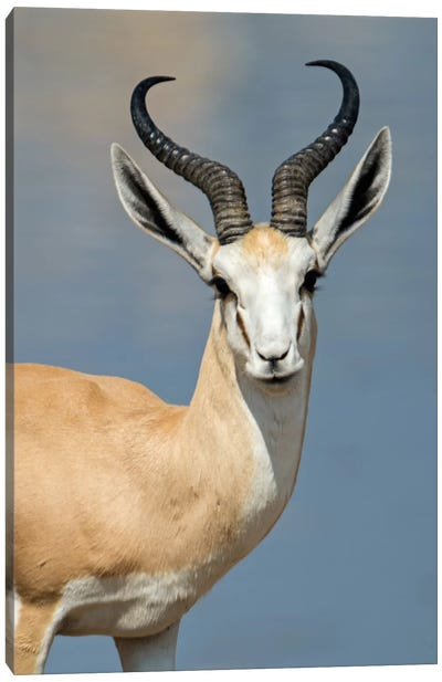 Springbok I, Etosha National Park, Namibia Canvas Art Print