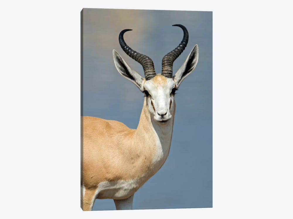 Springbok I, Etosha National Park, Namibia by Panoramic Images 1-piece Canvas Artwork