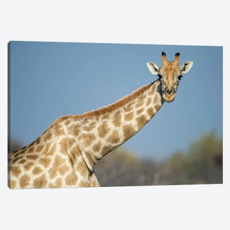 Southern Giraffe, Etosha National Park, Namibia Canvas Print #PIM13662} by Panoramic Images Canvas Art