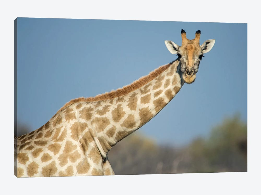 Southern Giraffe, Etosha National Park, Namibia by Panoramic Images 1-piece Canvas Artwork