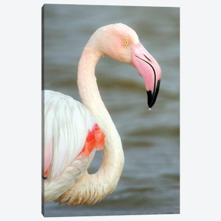 Greater Flamingo I, Namibia Canvas Print #PIM13668} by Panoramic Images Canvas Art