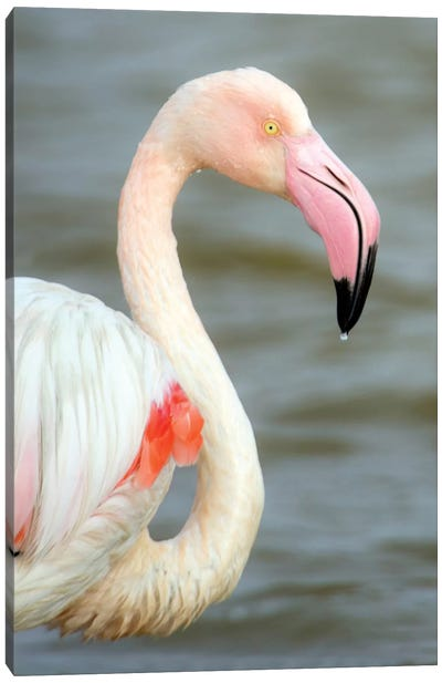 Greater Flamingo I, Namibia Canvas Art Print