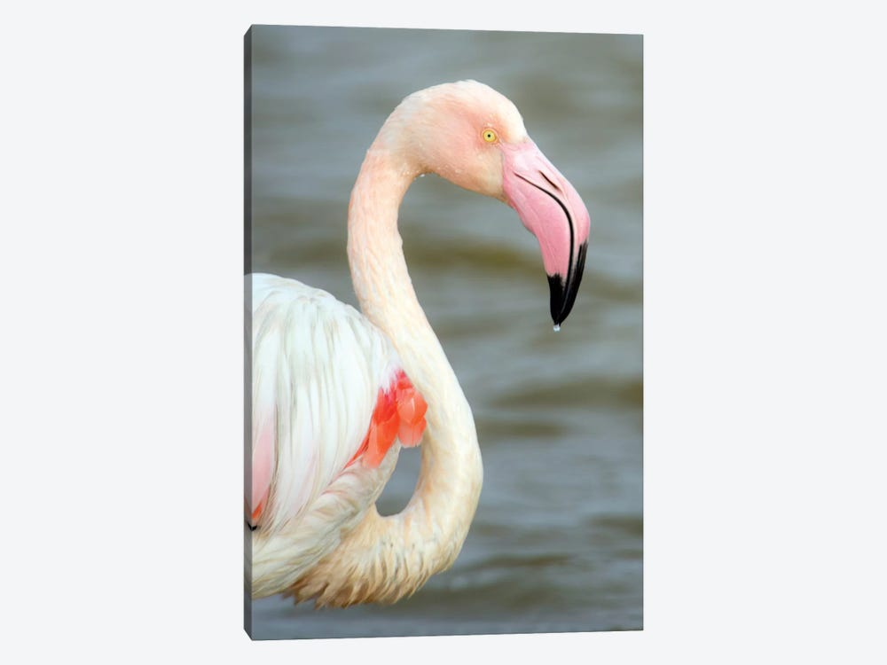 Greater Flamingo I, Namibia 1-piece Canvas Wall Art