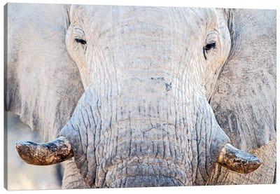 African Elephant I, Etosha National Park, Namibia Canvas Print #PIM13671