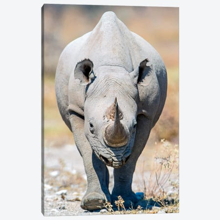 Black Rhinoceros II, Etosha National Park, Namibia Canvas Print #PIM13677} by Panoramic Images Canvas Artwork