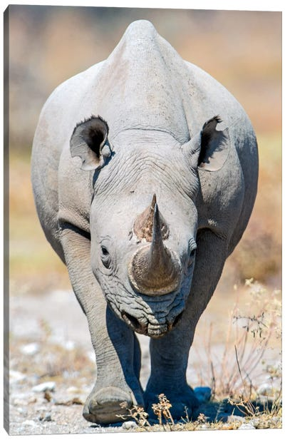 Black Rhinoceros II, Etosha National Park, Namibia Canvas Art Print