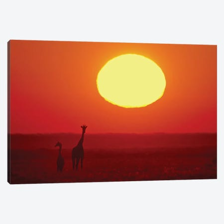 Southern Giraffes At Sunset I, Etosha National Park, Namibia Canvas Print #PIM13684} by Panoramic Images Canvas Art Print