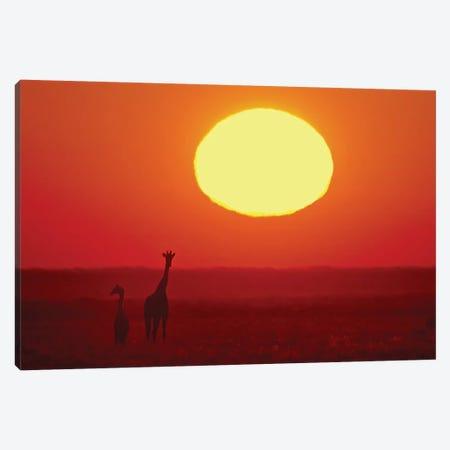 Southern Giraffes At Sunset I, Etosha National Park, Namibia Canvas Print #PIM13684} by Panoramic Images Canvas Art Print