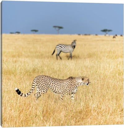 Preying Cheetah I, Tanzania Canvas Print #PIM13810