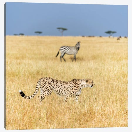 Preying Cheetah I, Tanzania Canvas Print #PIM13810} by Panoramic Images Canvas Art Print