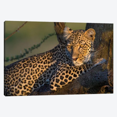 Leopard IV, Ndutu, Ngorongoro Conservation Area, Crater Highlands, Arusha Region, Tanzania Canvas Print #PIM13831} by Panoramic Images Art Print