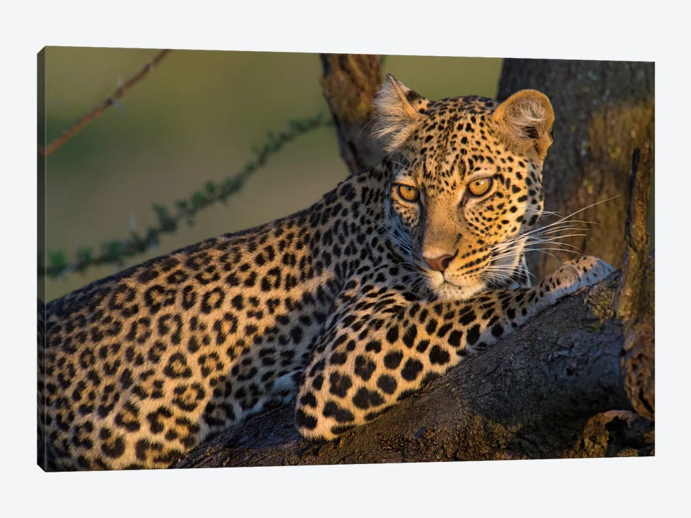 Leopard IV, Ndutu, Ngorongoro Conservation Area, Crater Highlands, Arusha Region, Tanzania by Panoramic Images 1-piece Canvas Art Print