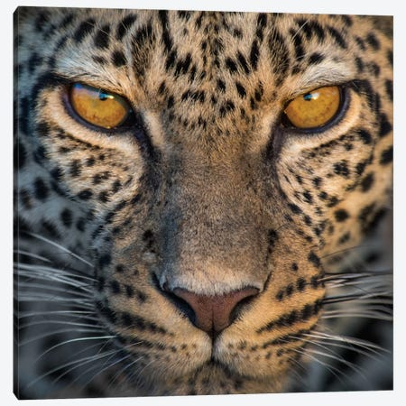 Leopard VII, Ndutu, Ngorongoro Conservation Area, Crater Highlands, Arusha Region, Tanzania Canvas Print #PIM13834} by Panoramic Images Canvas Art