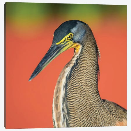 Bare-Throated Tiger Heron I, Tortuguero, Limon Province, Costa Rica Canvas Print #PIM13908} by Panoramic Images Canvas Print