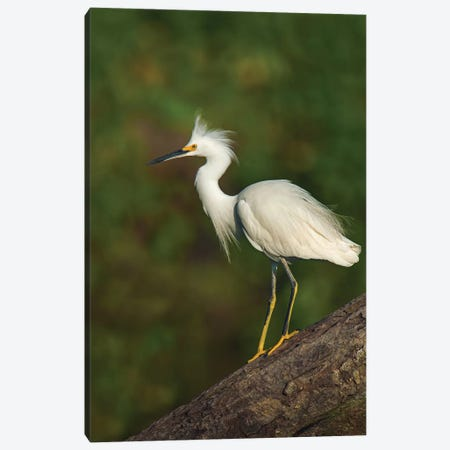 Snowy Egret, Tortuguero, Limon Province, Costa Rica Canvas Print #PIM13909} by Panoramic Images Canvas Print