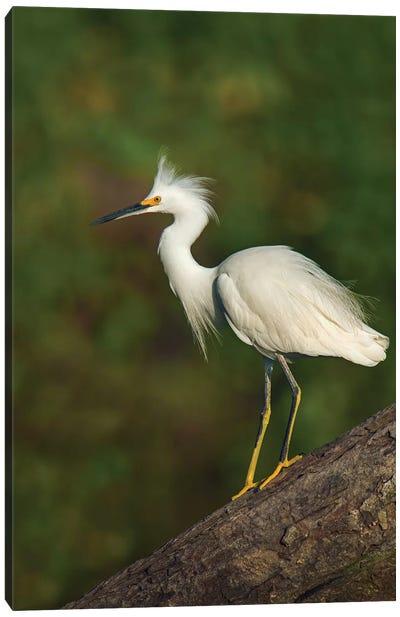 Snowy Egret, Tortuguero, Limon Province, Costa Rica Canvas Print #PIM13909