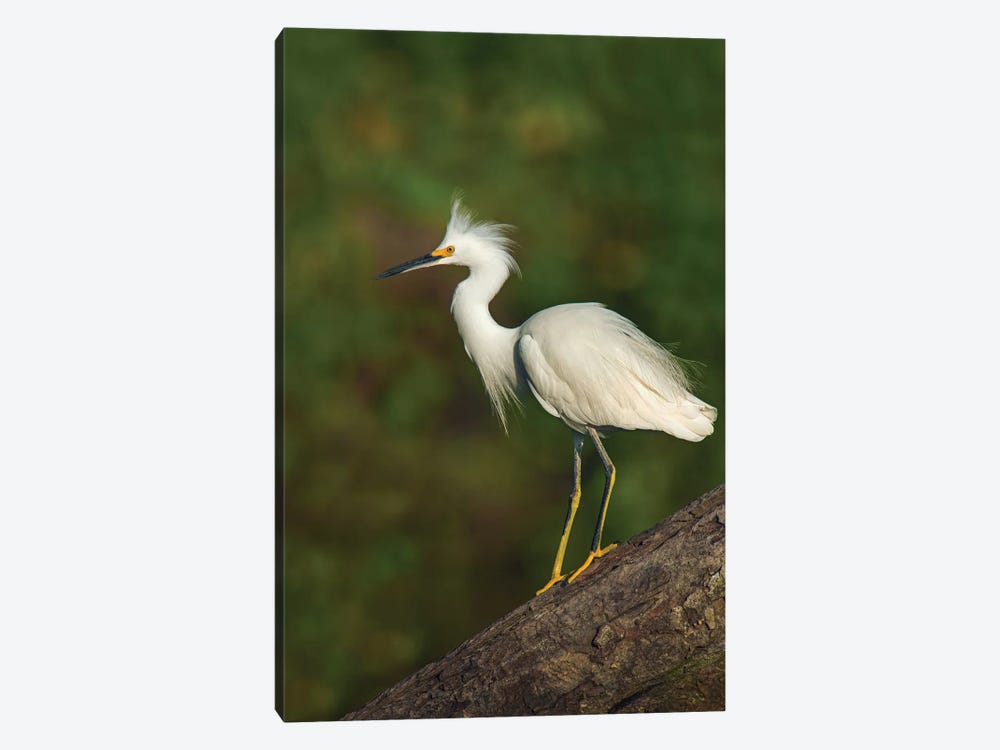 Snowy Egret, Tortuguero, Limon Province, Costa Rica by Panoramic Images 1-piece Canvas Art Print