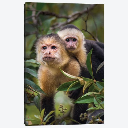 White-Throated Capuchin Monkeys, Tortuguero, Limon Province, Costa Rica Canvas Print #PIM13910} by Panoramic Images Canvas Art