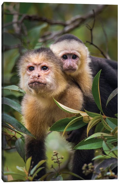 White-Throated Capuchin Monkeys, Tortuguero, Limon Province, Costa Rica Canvas Print #PIM13910