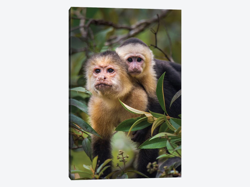 White-Throated Capuchin Monkeys, Tortuguero, Limon Province, Costa Rica by Panoramic Images 1-piece Art Print