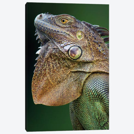 Green Iguana, Sarapiqui, Heredia Province, Costa Rica Canvas Print #PIM13911} by Panoramic Images Canvas Artwork