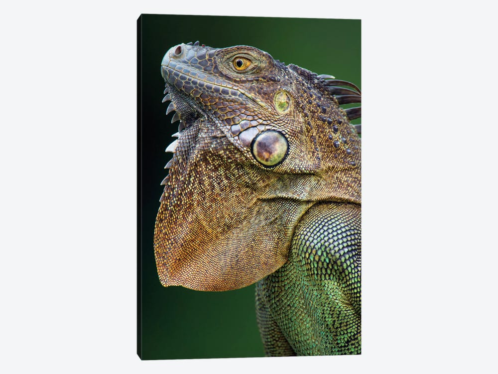 Green Iguana, Sarapiqui, Heredia Province, Costa Rica by Panoramic Images 1-piece Canvas Artwork