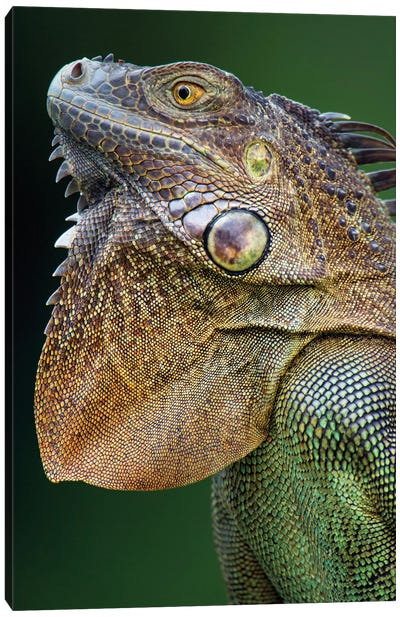 Green Iguana, Sarapiqui, Heredia Province, Costa Rica Canvas Art Print