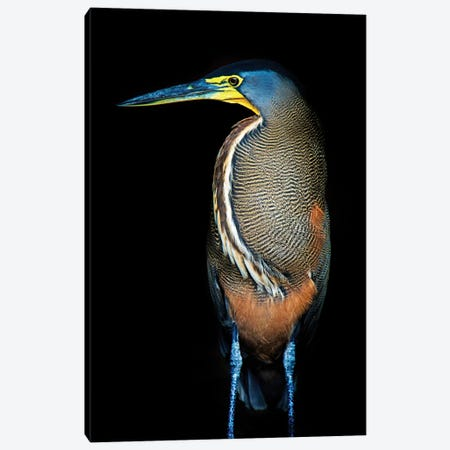 Bare-Throated Tiger Heron II, Tortuguero, Limon Province, Costa Rica Canvas Print #PIM13912} by Panoramic Images Canvas Wall Art