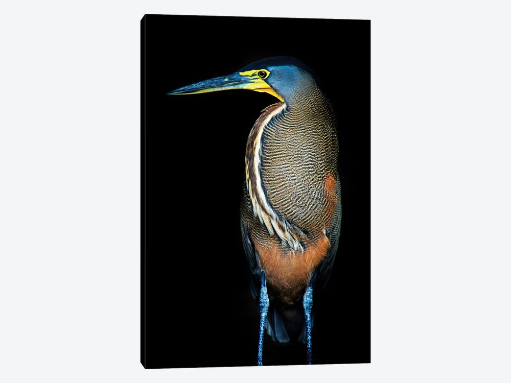 Bare-Throated Tiger Heron II, Tortuguero, Limon Province, Costa Rica 1-piece Art Print