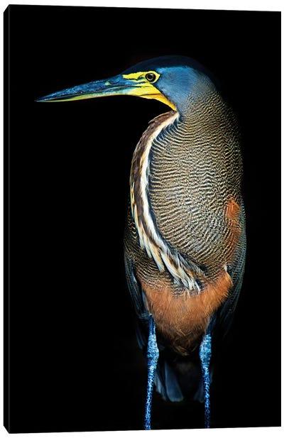 Bare-Throated Tiger Heron II, Tortuguero, Limon Province, Costa Rica Canvas Art Print