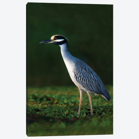 Yellow-Crowned Night Heron, Tortuguero, Limon Province, Costa Rica Canvas Print #PIM13913} by Panoramic Images Canvas Art