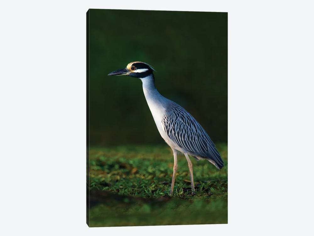 Yellow-Crowned Night Heron, Tortuguero, Limon Province, Costa Rica by Panoramic Images 1-piece Canvas Artwork
