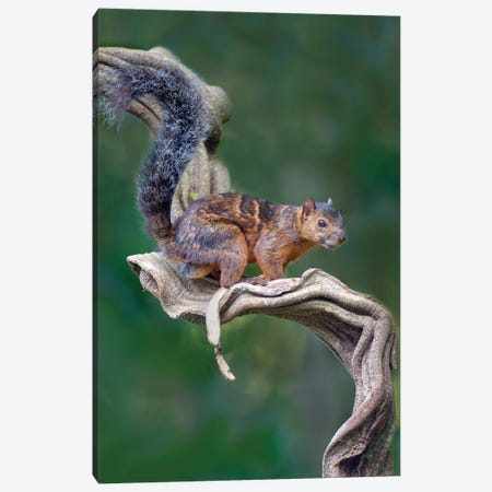 Variegated Squirrel, Sarapiqui, Heredia Province, Costa Rica Canvas Print #PIM13914} by Panoramic Images Canvas Print