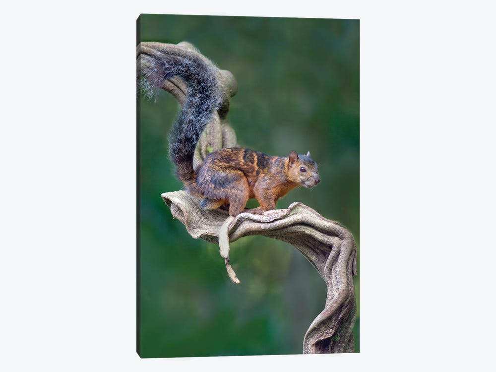 Variegated Squirrel, Sarapiqui, Heredia Province, Costa Rica by Panoramic Images 1-piece Canvas Art Print